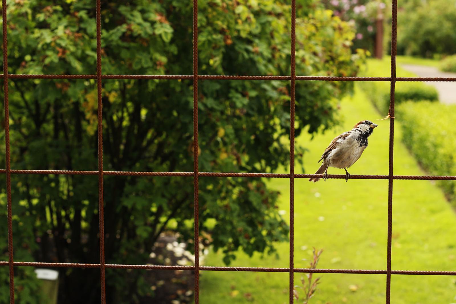 Schweden Vogel auf dem Gitter