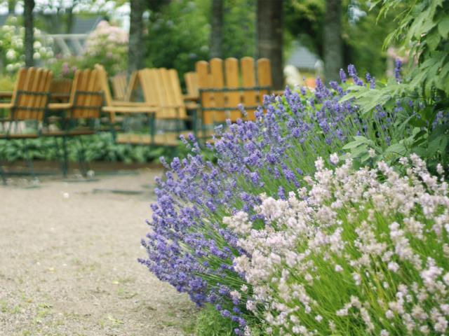 Schweden Lavendel
