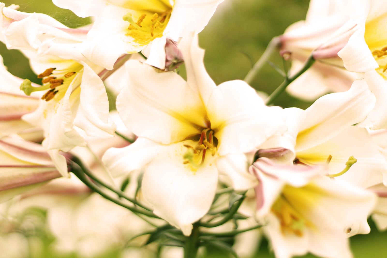 Schweden Blume